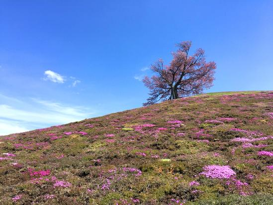 双子の桜と芝桜開花 津別町