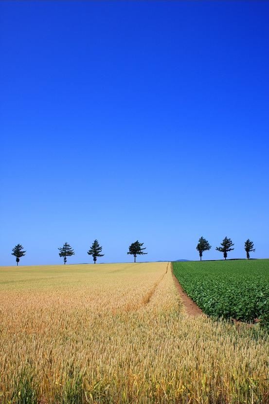 メルヘンの丘 麦畑収穫間際? 大空町女満別