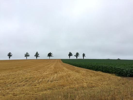 メルヘンの丘 麦畑収穫 大空町女満別