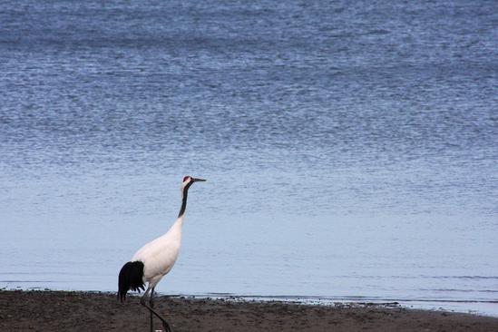 オホーツク地方の丹頂鶴
