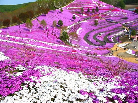 芝桜公園 大空町東藻琴(ひがしもこと)