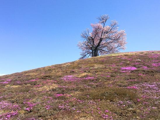 双子の桜と芝桜 津別町