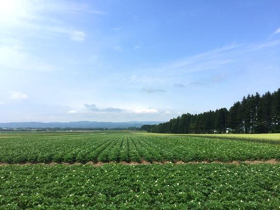 ジャガイモ畑&麦畑 大空町女満別