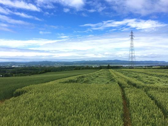 朝日ヶ丘展望台 2種類の麦畑 ヒマワリ 北海道大空町女満別