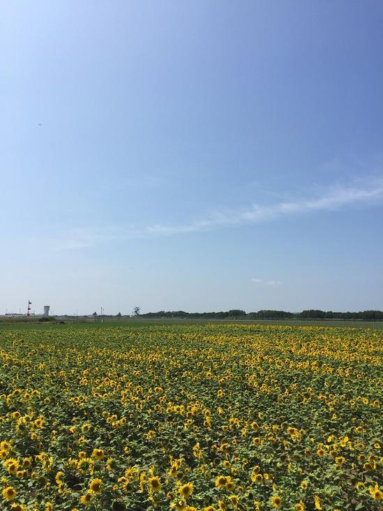 ヒマワリ畑 女満別空港滑走路北側 簡易展望台 北海道大空町女満別